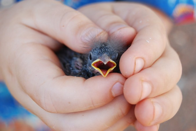 Despite popular myth, a baby bird's parents will not abandon their child because of scent you may leave on the fledgling.  Birds actually don't have a great sense of smell.